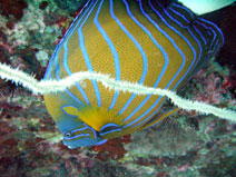 Blue Ringed Angel Fish