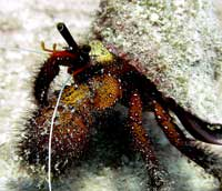 cuba trips samui hermit crab