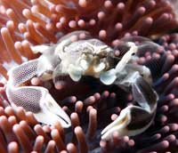 Courses samui anemone crab