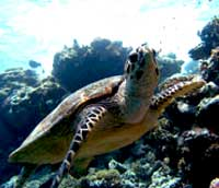 green turtle scuba diving in Samui