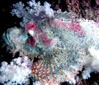 diving samui scorpion fish