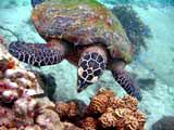 Schildkröte tauchen Samui